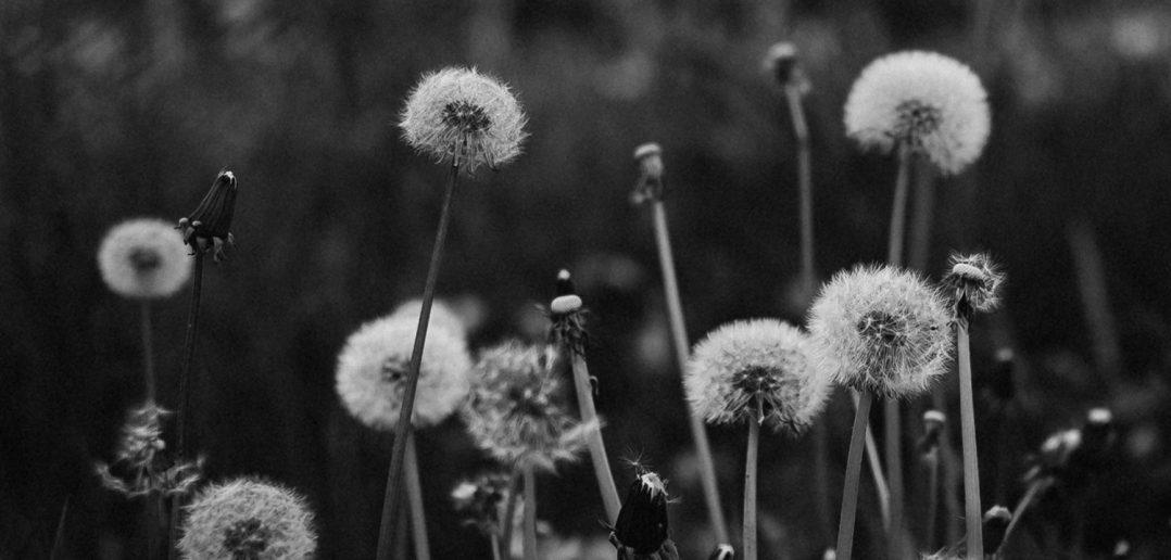 Dandelions represent knowledge & the spread of wisdom