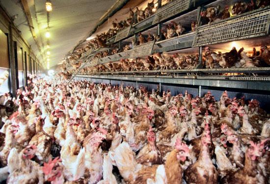 Cage-free, free-range hens