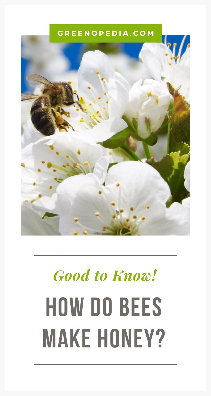 How do bees make honey? | A single pound of honey requires the teamwork of more than 10,000 bees, traveling over 75,000 miles, gathering nectar from over 8-million flowers. | Greenopedia #howishoneymade #ethicalhoney #sustainablehoney via @greenopedia