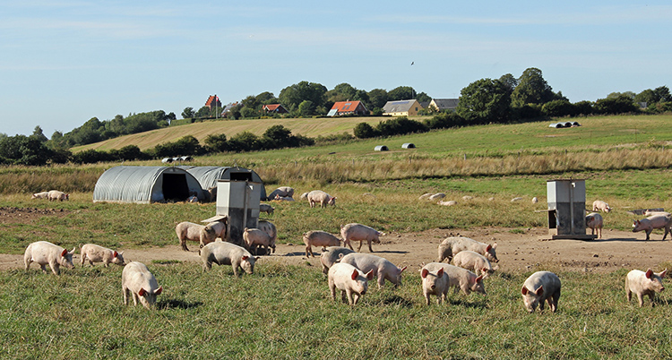 Pasture-raised pigs