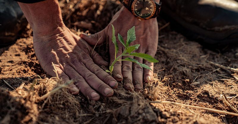 Planting Organic Hemp - Charlotte's Web