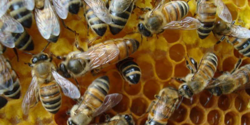 Queen Honeybee