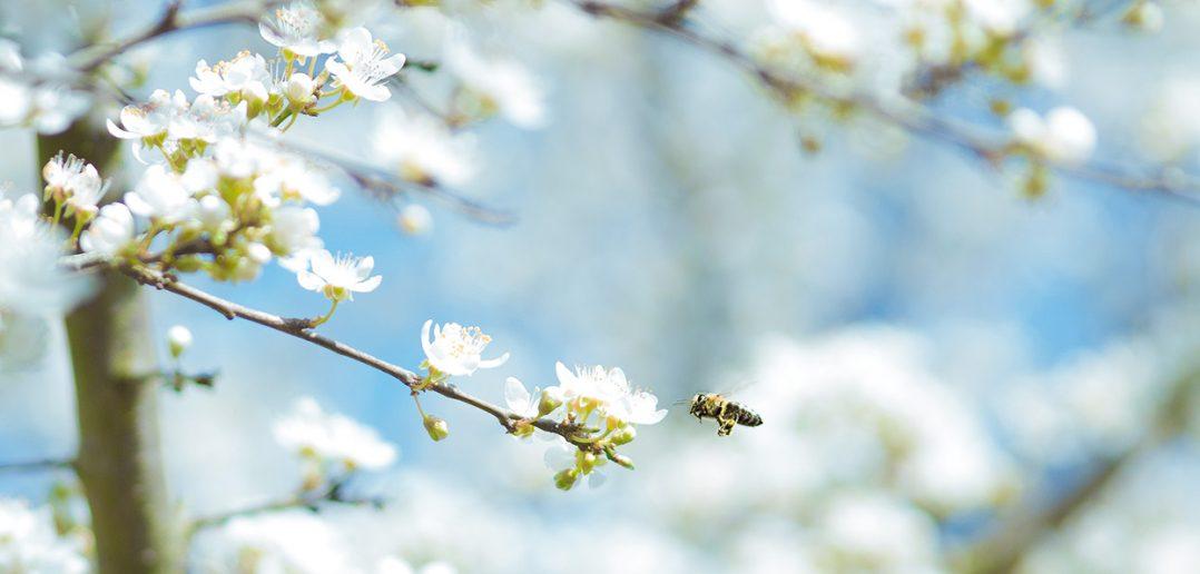 Wild bee pollinator