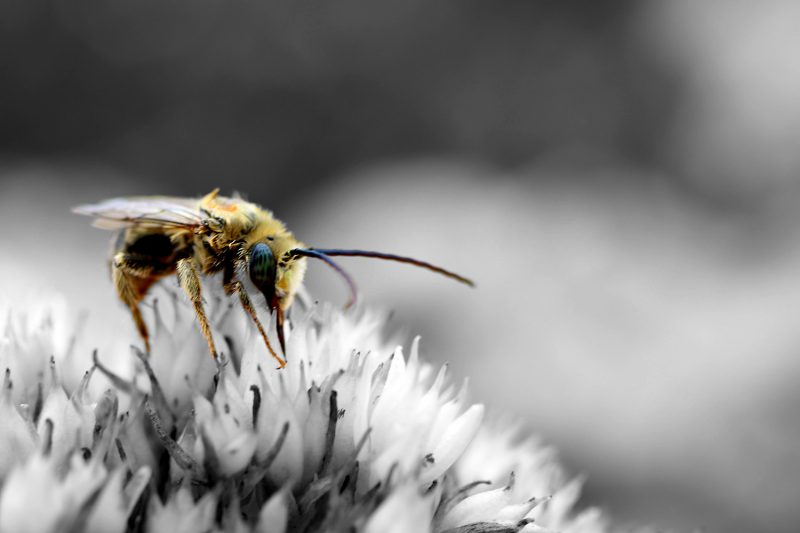 bee pollenating a flower