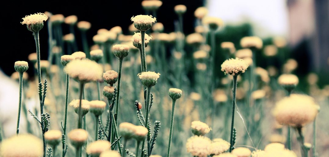 Bees love dandelions